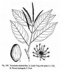 parazitaellenes gyógynövények