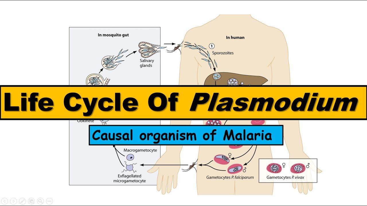 A malária plazmodium fejlődésének útja,
