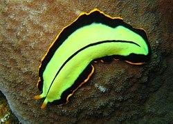 platyhelminthes kelas turbellaria)