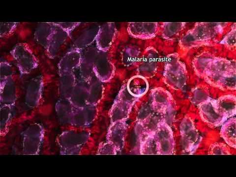 vázolja fel a malária plazmodium szerkezetét)