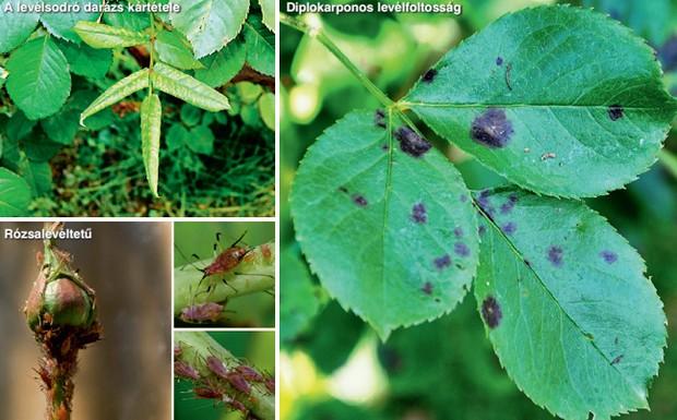 Levéltetvek és paraziták rózsa kezelése