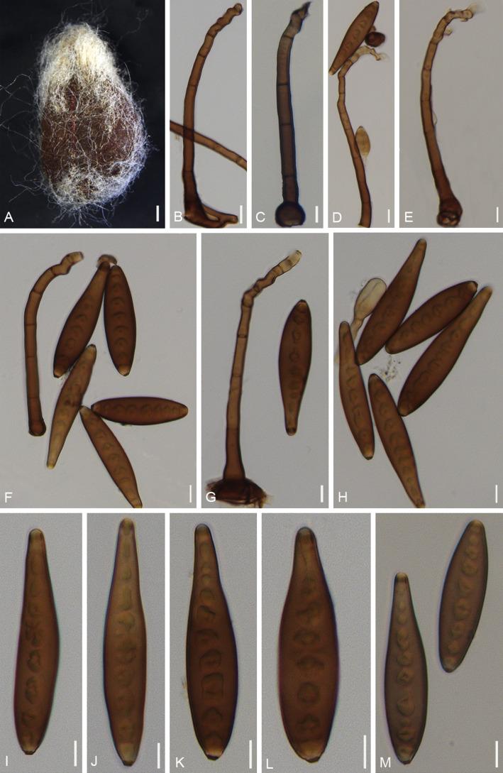 helminthosporium heveae