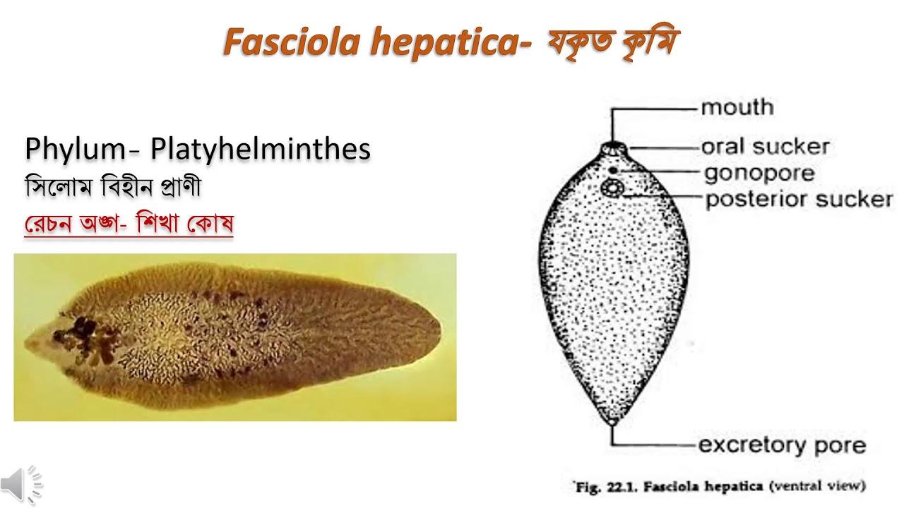 Platyhelminth példák