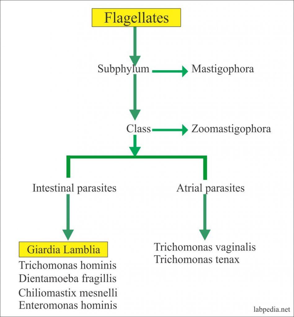 Giardia toxin. Székletvizsgálaton jártunk Giardia toxin