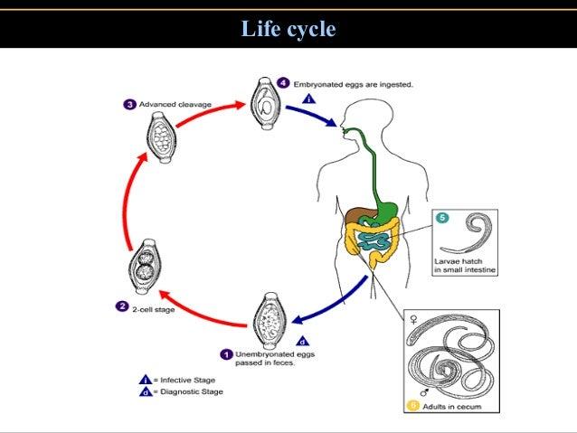 a trichocephalosis patogenezise