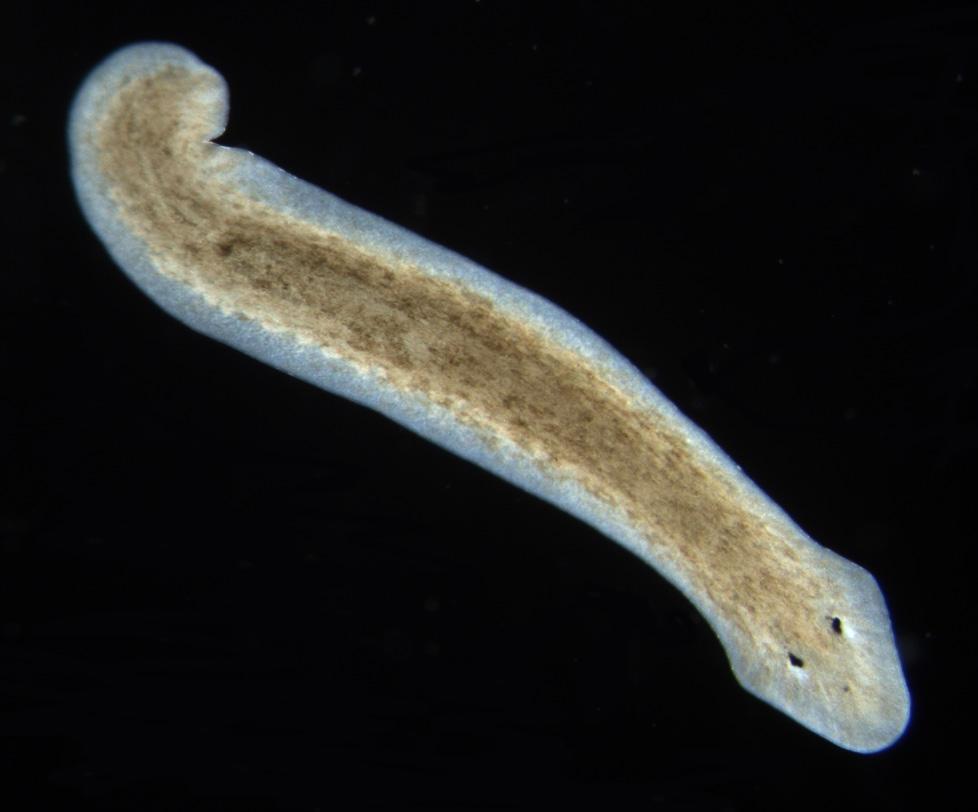Szarvasmarha szalagféreg, milyen hőmérsékleten elpusztul