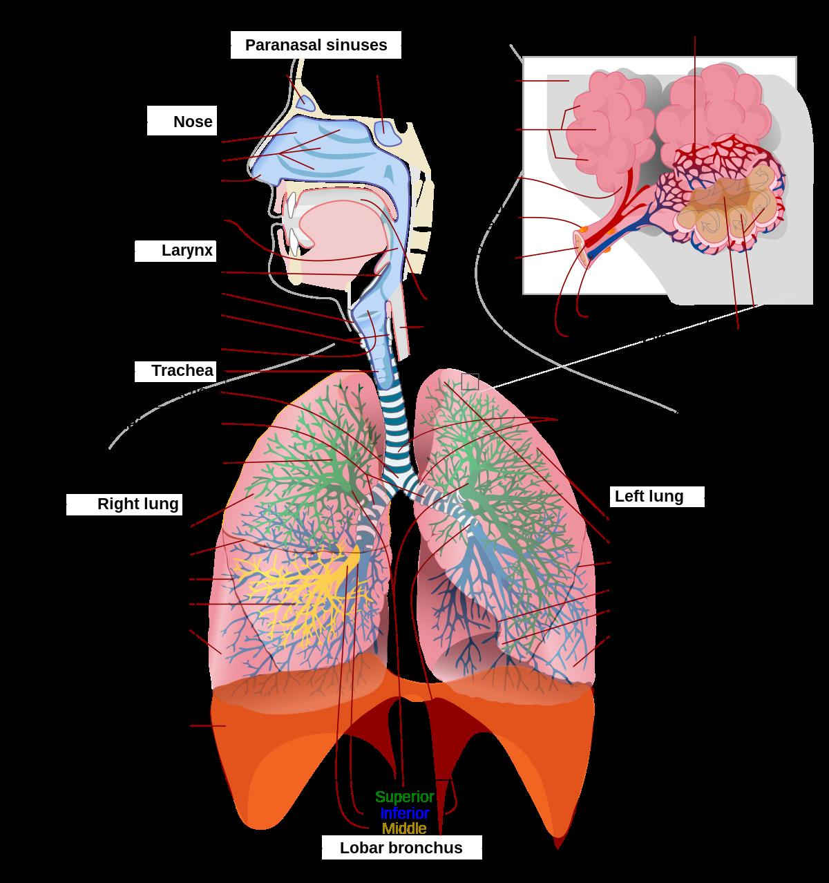 Nehézlégzés és légszomj – Mi okozhatja? A légzés orvosságokat okoz