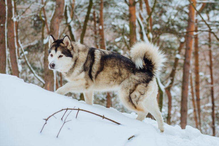 féregtelenítő husky)