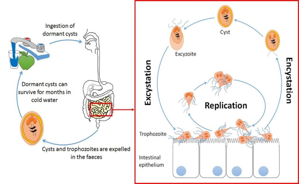 Giardia home treatment, Giardia infection natural treatment. Giardia infection in humans